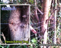 รั้วตาข่าย ถูกต้นไม้กิน