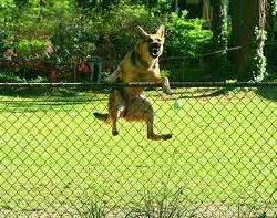 สุนัขปีนรั้ว รั้ว สุนัข